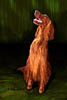 Irish Setter Irish Beauty